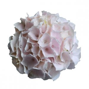 Lys pink Hortensia i sidste stadie, Candyfloss