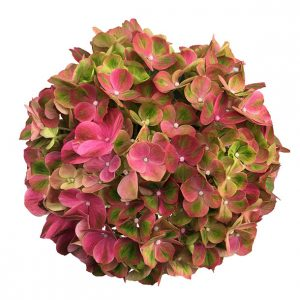 Pink Hortensia i sidste stadie, Green Fusion Pink