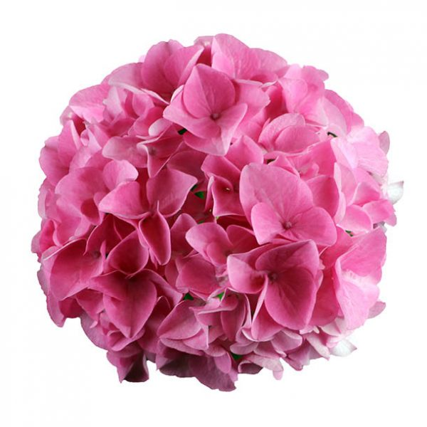 Pink hortensia i sidste stadie, Princess of Passion