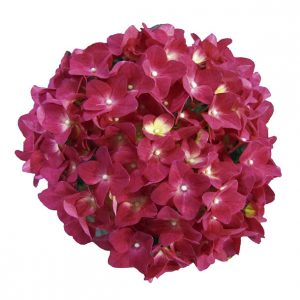 Roed hortensia i sidste stadie, Red Romance