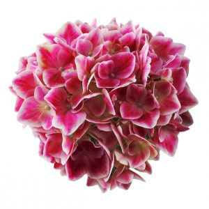 Pink hortensia i sidste stadie, Stronghearts